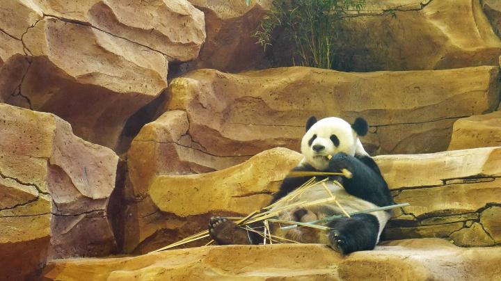 Visa 10 Tahun untuk Duo Panda TamanSafari